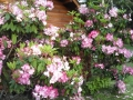 Azalia flowers at the Manchester Beach / Mendocino Coast KOA