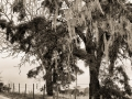 Castoro_winery_mossy_trees