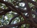 live_oak_branches