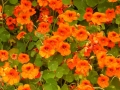 Colorful Nasturtiums at Port Orford