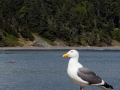 Seagull on pier at Port Orford