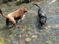 Jasmine & Pepper playing in Stream in the Sawtooths