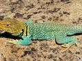 Hovenweep Lizard