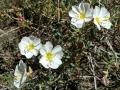 White Flowers, San Rafael Swell, Utah