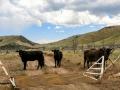 Cattle on road - Dinosaur National Monument
