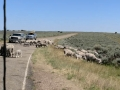 Sheep on road - Dinosaur National Monument