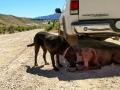 Thirsty pups - Dinosaur National Monument