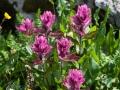Governor-Basin-Wildflowers-2