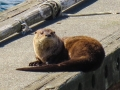 Sea Otter at Neah Bay