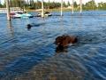 Jasmine & Pepper having a swim at Lake Coeur d'Alene