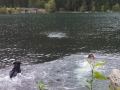 Jasmine & Pepper enjoying a swim in Lake Cushman