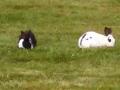 Resident bunnies at Neskowin Creek RV Resort