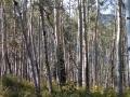Owl-Creek-Pass-Aspen-Woods