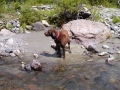 Pups-in-west-Fork-Stream