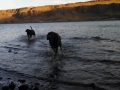 Jasmine & Pepper swimming in Columbia River at Peach Beach RV Park