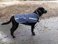 Pepper on squirrel patrol in her doggy coat...
